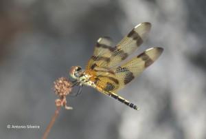 Celithemis eponina-Halloween Pennant1-OletaRiverStPk-Miami-25-7-15-ASilveira