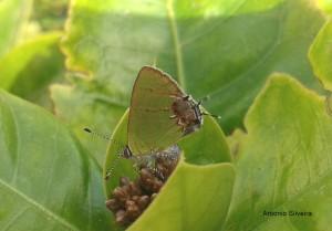 Chlorostrymon telea-Aruba-5-2015-ASilveira
