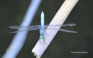 Pachydiplax longipennis-Blue Dashers1-WetlLandPk-LVegas-14-7-15-ASilveira