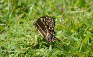 Papilio troilus-f-BibCypressNR-FL-20-7-15-ASilveira