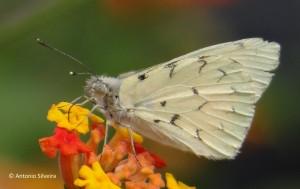 Hesperocharis paranensis paranaensis3-PIbirapueraSPBR-18-8-15-ASilveira