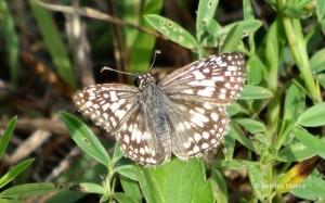 Pyrgus albescens2-OletaRiverStPk-Miami-29-7-15-ASilveira