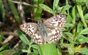 Pyrgus albescens3-OletaRiverStPk-Miami-29-7-15-ASilveira