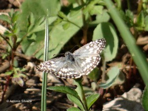 Pyrgus oelius orcus-PIbirapueraSP-BR-9-8-15-ASilveira
