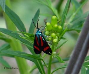 Cyanopepla jucunda (Walker, 1854)1-SItapetinga-AtibaiaSP-3-10-15-ASilveira