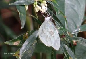Dismorphia t. thermesia-SItapetinga-AtibaiaSP-3-10-15-ASilveira