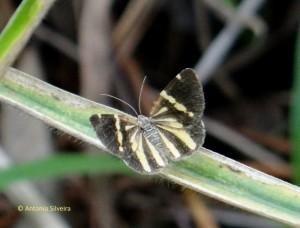 Heterusia quadruplicaria Geyer 1832-SItapetinga-AtibaiaSP-3-10-15-ASilveira