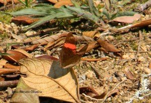 Adelpha l.lycorias-AtibaiaSPBR-10-15-RenatoOliveira