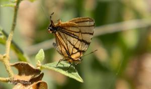 Arawacus meliboeus-AtibaiaSPBR-10-15-RenatoOliveira