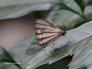 Arawacus meliboeus-PuertoIguazu-AR-23-10-15-ASilveira