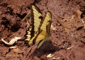 Heraclides astyalus1-Selva Yryapu1-PIgAR-23-10-15-ASilveira