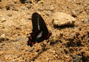 Mimoides l. lysithous-AtibaiaSPBR-10-15-RenatoOliveira