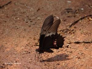 Papilio anchisiades capys-SelvaYryapu-PIgAR-23-10-15-ASilveira