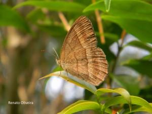Yphthimoides ochracea-AtibaiaSPBR-10-15-RenatoOliveira