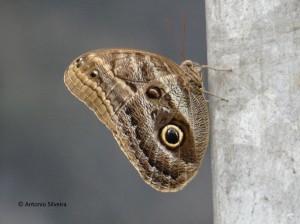 Caligo ilioneus2-BorboletarioDiadema-4-12-15-ASilveira