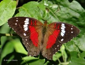 Anartia amathea roeselia2 -PNIguazuAR-11-3-16-ASilveira