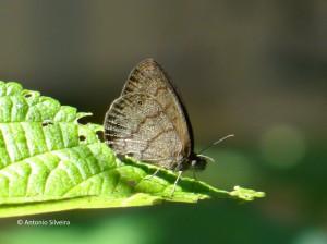 Hermeuptychia gisella-SerradoJapiSP-BR-19-3-16-ASilveira