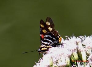 Mimoniades versicolor1-SerradoJapiSP-BR-19-3-16-ASilveira