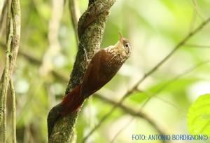 lepidocolaptes-squamatus-7-09-16-pedra-grande-abordignon