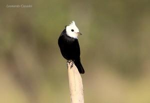 arundinicola-leucocephala-fot-leonardo-casadei