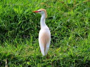 bubulcus-ibis-fot-leonardo-casadei