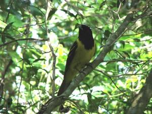 carpornis-cuculatus-paranap-sandresp26-10-06-asilveira