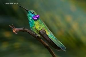colibri-serrirostris-fot-leonardo-casadei