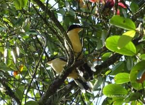 donacobius-atricapilla1-mongaguasp-27-12-16-asilveira