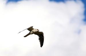 elanus-leucurus-fot-leonardo-casadei