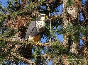 falco-femoralis5-serrajapisp-23-7-16-asilveira