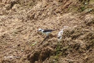 fluvicola-albiventer1-tanqua-sp-22-10-16-asilveira