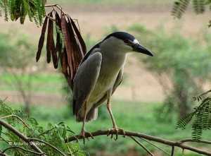 nycticorax-nycticorax1-tanqua-sp-22-10-16-asilveira