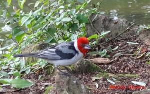 paroaria-dominicana-ibirapuerapark-sp-brazil31-1-11-asilveira-red