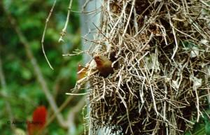 phacellodomus-eurythrophtalmus1-itamabuca-ubatubasp8-89-asilveira