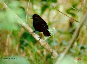 pyriglena-leucoptera-bopiranga-itanhaem-sp12-89-asilveira