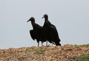 urubus-tanqua-2016-abordignon-cortesia