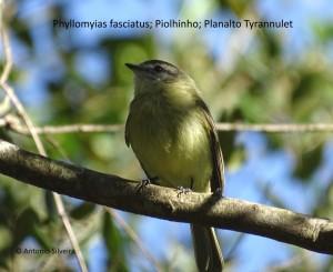 phyllomyias-fasciatus1-jdbot-sp-7-7-16-asilveira-nome