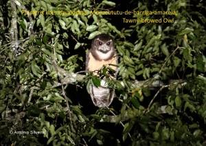 pulsathrix-koelniswaldiana1-guarauperuibespbr-6-8-15-asilveira-nome