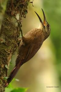 xiphocolaptes-albicollis-pantas-lcasadei