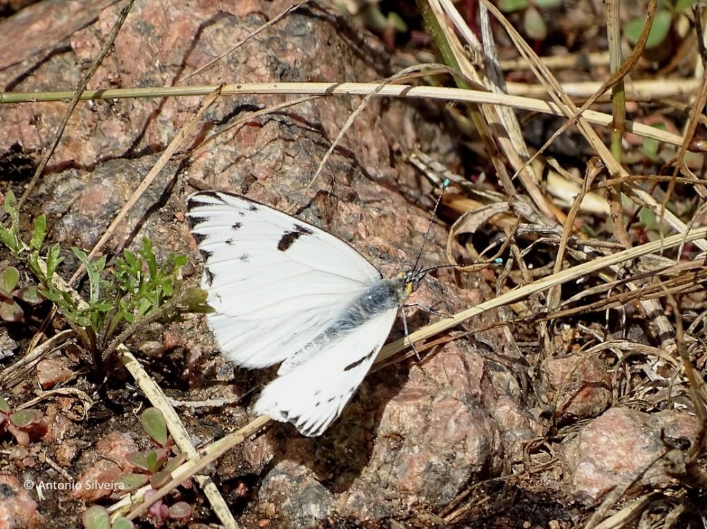 ascia-monuste-lagunadiario-uy-13-12-16-asilveira