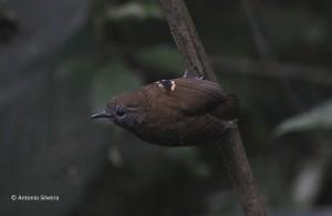myirmotherula-gularis1-montdojapi-jundiai-7-1-17-asilveira