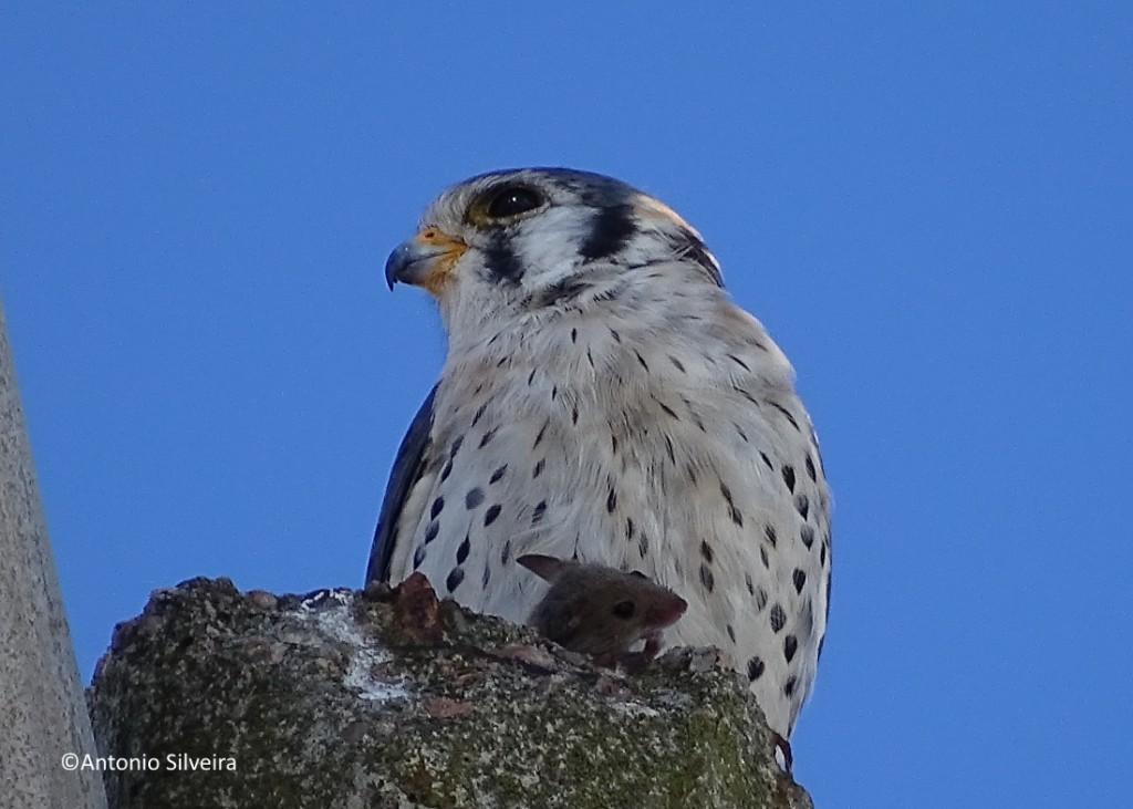 Falco sparverius-PlayaMansaPdelEsteUY-5-3-17-ASilveira